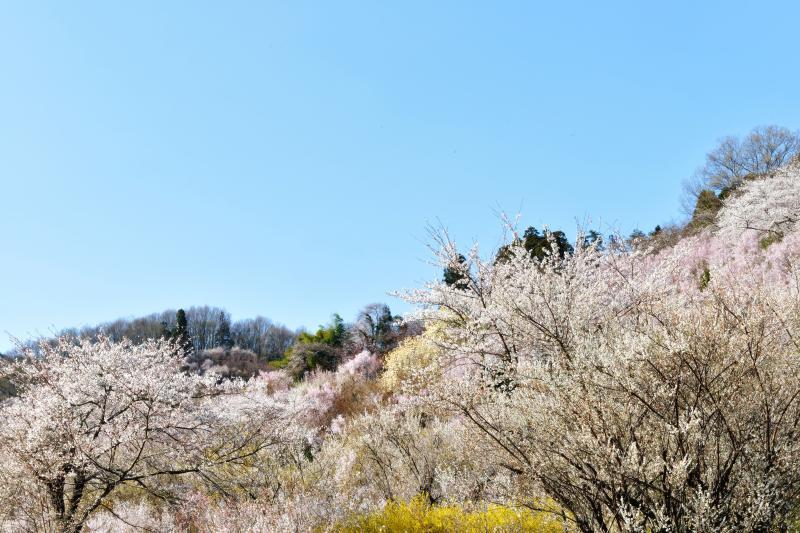 [ 桜回廊 ]  花に囲まれながら花見山の登山口に向かいます。