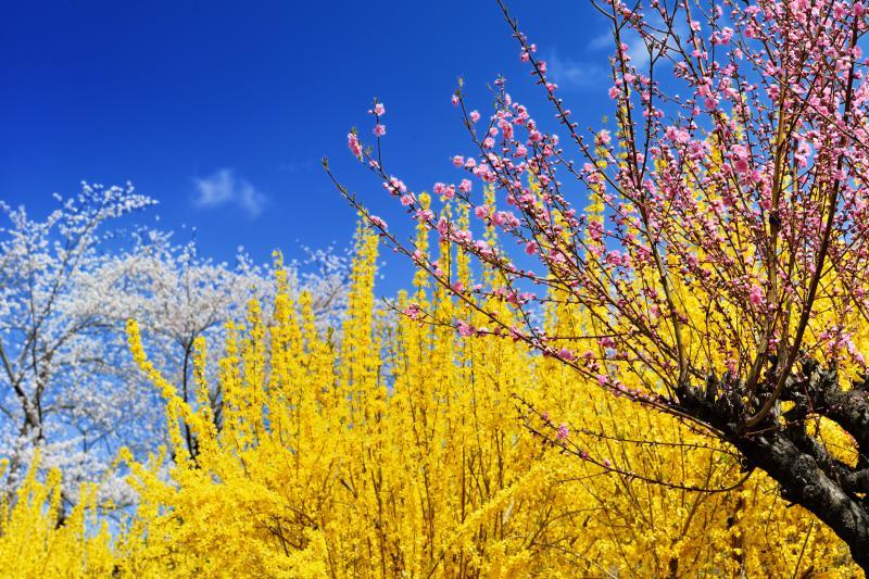 [ 豪華三色 ]  桃・レンギョウ・桜のコラボレーション。春の華やかさに歓声があがります。