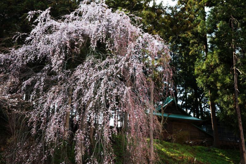 [ 八幡神社本殿と桜 ]  桜の奥に本殿が見えます