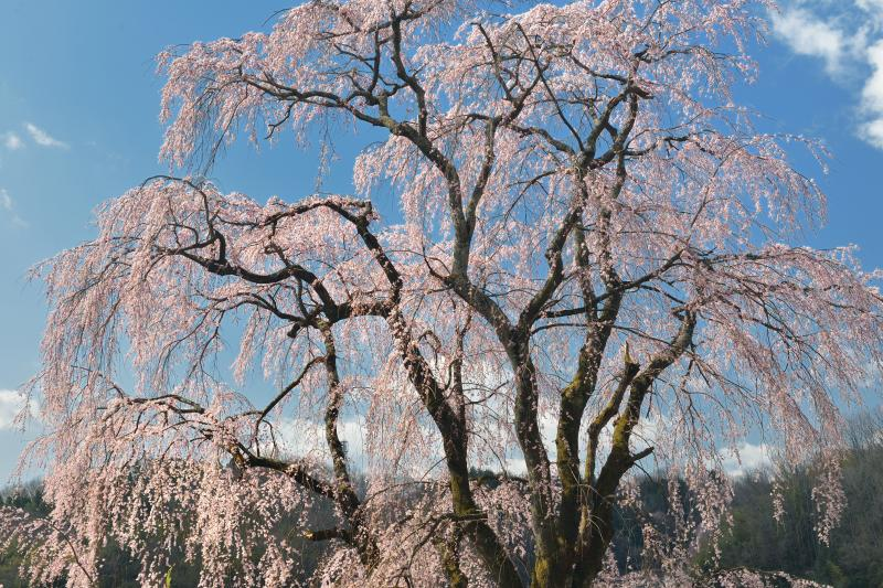 [ 昼間の花火 ]  空から桜が降ってくる感じがとても美しい。枝垂の名桜。