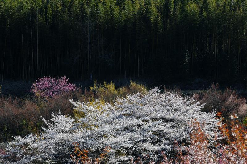 [ 桜と竹林 ]  花見山と向かい合う場所にあった桜と竹林