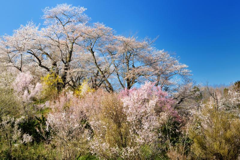 [ 丘の上から ]  丘の上にはおおきめの桜の木があります。