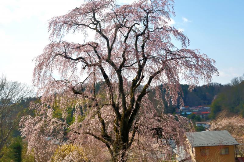 [ 青空とお城坂枝垂れ桜 ]  お城坂枝垂れ桜は個人宅の敷地内にあります