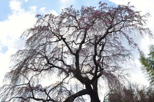 [ 常楽院桜 ]  常楽院桜を見上げて