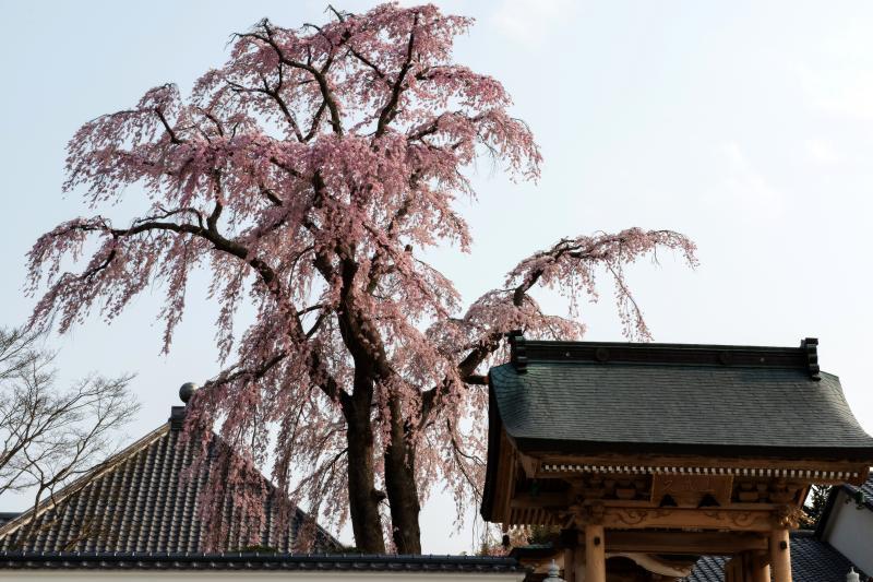 [ 寺を守るしだれ桜 ]  法華寺の本堂と門の間にある桜