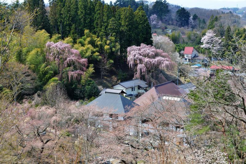 [ 裏山から福聚寺の桜を望む ]  2本の大きな枝垂桜があります