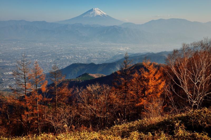 [ 甘利山の秋景色と富士山 ]  甘利山からカラマツ林越えの富士山