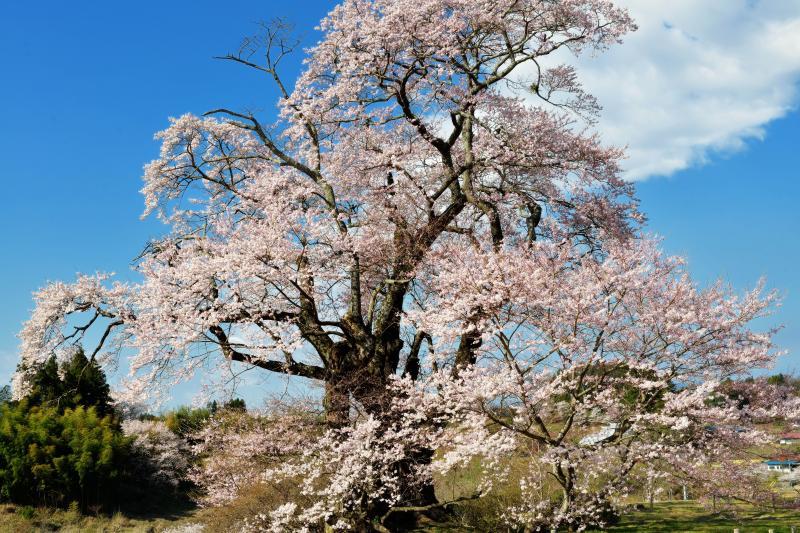[ 力強く ]  元気で力強い丘の上の巨木。青空と雲が爽快。