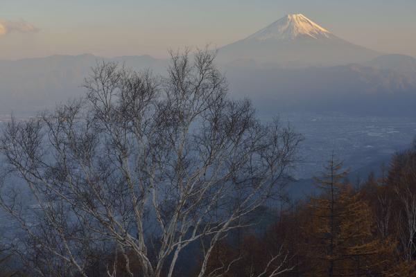 [ ダケカンバと富士山 ]  甘利山からダケカンバ越しに富士を見る
