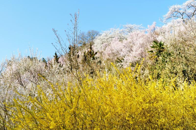 [ イエローマジック ]  レンギョウの黄色は辺りを賑やかにします。