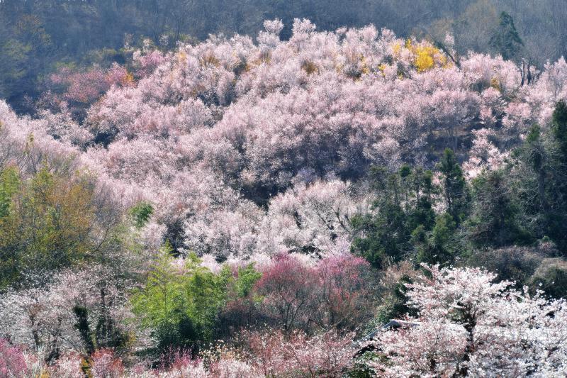 [ 桜あふれて ]  桜が湧き出るように咲いています。