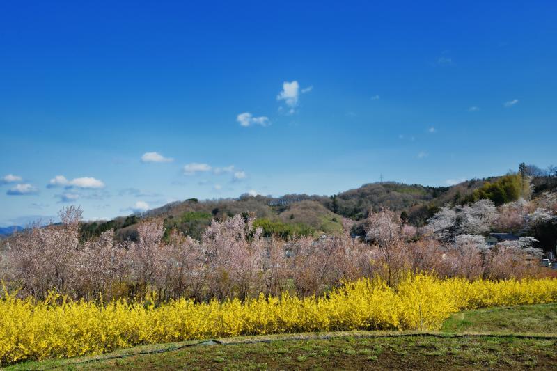 [ レンギョウの列 ]  畑の淵に沿うようにレンギョウが植えられています。