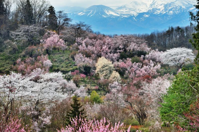 [ 花見山と吾妻小富士 ]  春爛漫な花見山と残雪の吾妻小富士。花見山を代表する絶景ポイント。