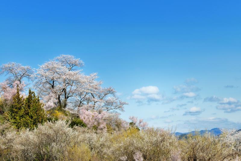 [ 桜と流れる雲 ]  時間が経つにつれて雲が出てきました。