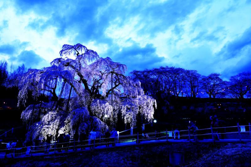 ヒンヤリとした感じ | 滝桜のライトアップをヒンヤリとした感じに仕上げてみました。