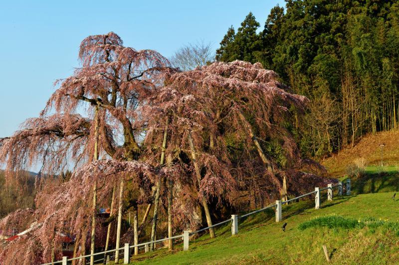 [ 滝桜横姿 ]  滝桜の横姿のアップです。