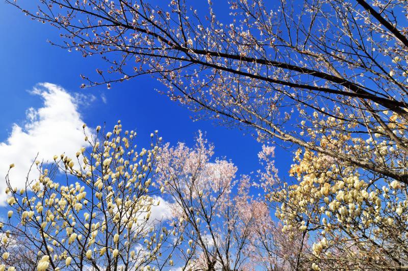 [ 桜とモクレンのトンネル ]  モクレンと桜のコラボレーションです。
