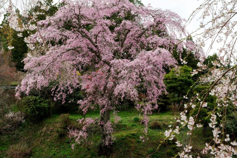 [ 観桜台から忠七桜を眺める ]  ピンク色の濃い美桜。丘の上で堂々と咲き誇る。