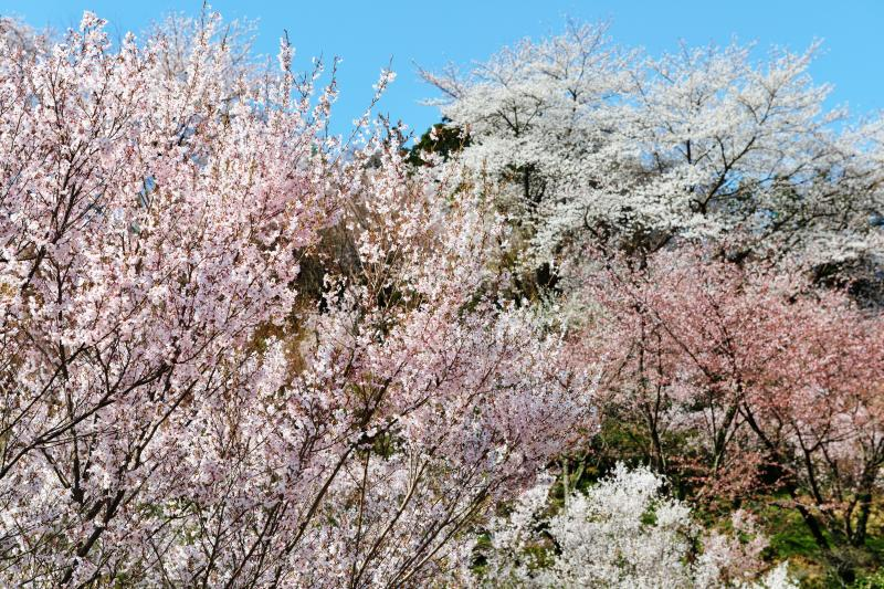 [ 乱舞 ]  桜たちが踊っているようです。