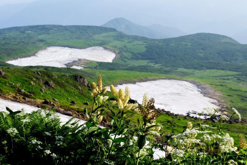 [ 3つの雪渓とコバイケイソウ ]  雪渓近くにコバイケイソウが咲いています