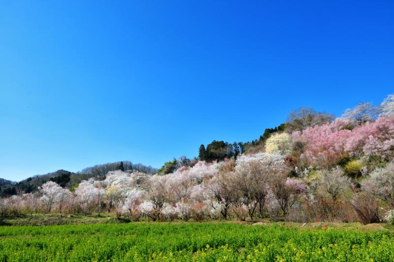 [ 夢の中 ]  花見山周辺は別世界になっています。