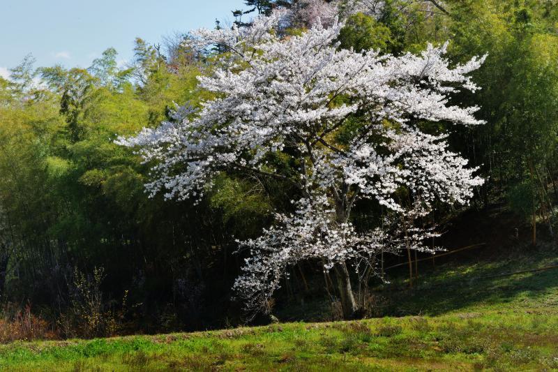[ 竹林と一本桜 ]  竹林の前に優雅な姿の桜がありました。