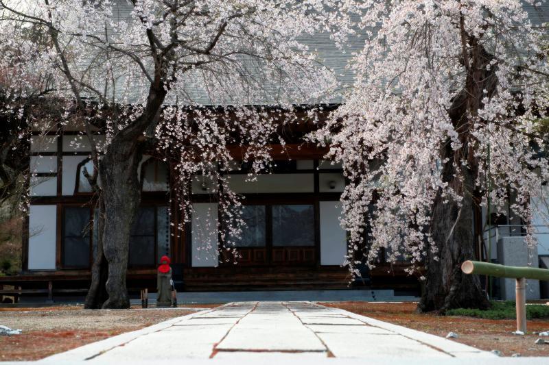 [ 高乾院の桜とお地蔵さん ]  満開の桜とお地蔵さん