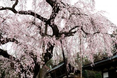 建福寺の古桜| 元気の良い枝垂桜が本堂の前に立っています。