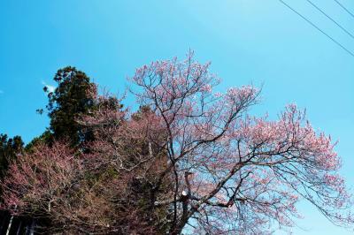 三渡神社の桜| 神社の入口に桜が咲いています。