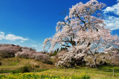 丘を彩る| 高台に咲く孤高の桜と流れ行く雲