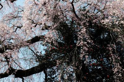 つばきと桜|