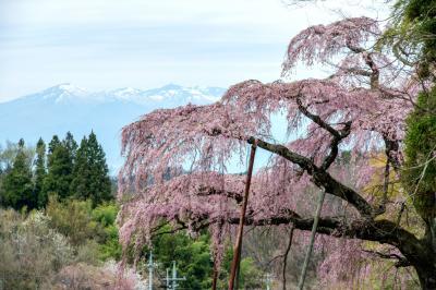 濃いピンク色の花を咲かせる古桜と残雪の山々| 桜と残雪の山々が春を伝える。滝桜から近い。