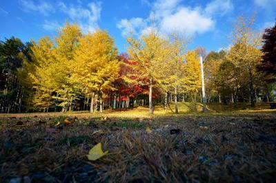 銀杏| 銀杏の黄色と青空が美しい