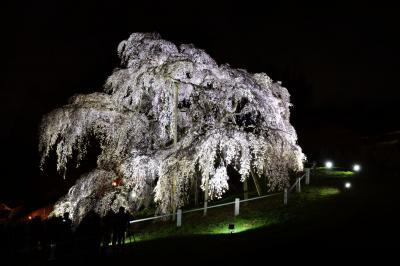 風に揺れて| 風が吹くと滝桜がより美しく夜の闇に浮かび上がります。