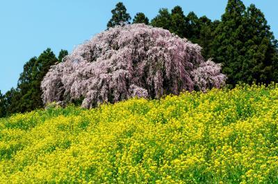 菜の花に囲まれて| 菜の花に囲まれた合戦場のしだれ桜