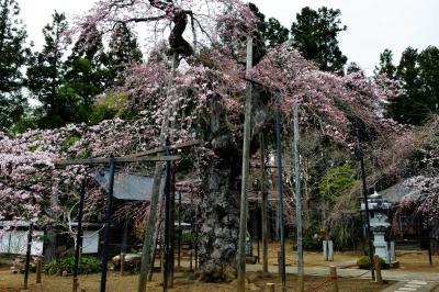 護摩桜| ごつごつした幹の桜です