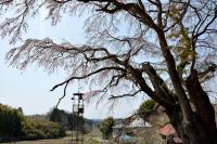 込木地蔵桜と火の見櫓| 鐘の音が響き渡りそうな風景