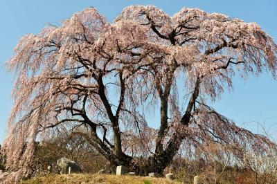 根元から分かれて| お墓を長い間守っている孤高の桜。