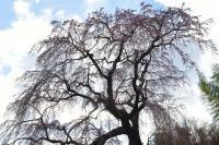 常楽院桜| 常楽院桜を見上げて