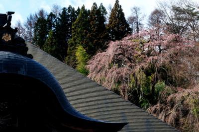 天沢寺の本堂と桜| 本堂の右裏手に桜があります