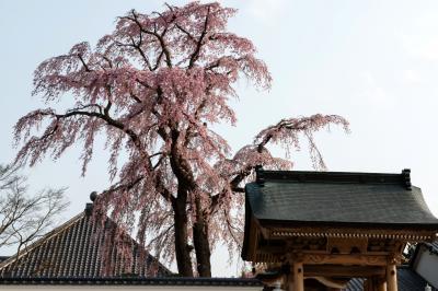 寺を守るしだれ桜| 法華寺の本堂と門の間にある桜