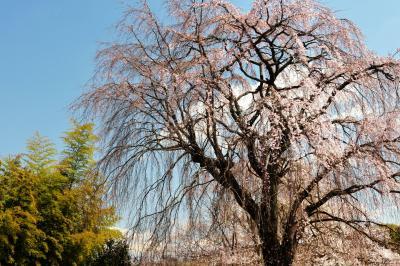 上品に枝垂れる桜| 青空と竹林が美しい。