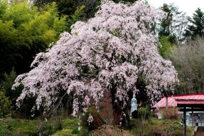 静かな空間| 桜の後ろには竹林があります。