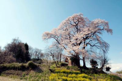 天神夫婦桜と菜の花| 菜の花と桜のコントラストが美しい