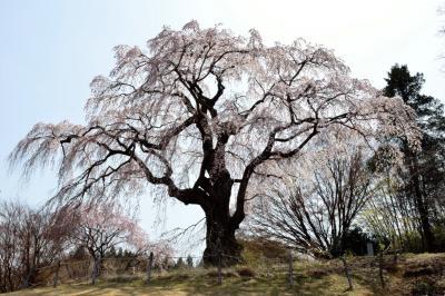 風に靡くかもん桜| 高台にある公園に立っている桜です