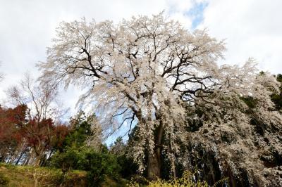 白い花の美しさ| 美しい桜が民家の裏山に咲き誇っています。