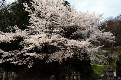 お墓を守るように咲く桜| 訪問者も少なく、静かな時間を楽しめる場所です。