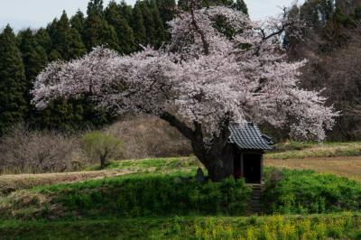 静かな春の風景| 映画「はつ恋」で「願いの桜」として登場した桜。
