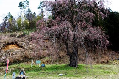 福田寺の糸桜の前で| ピンク色の濃い桜です