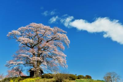 天高く| 青空に映える七草木の天神桜
